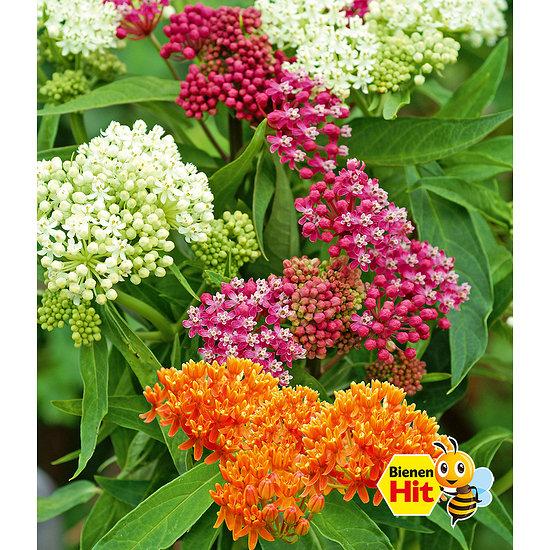 """Garten-Welt Seidenpflanze """"Butterfly Mix"""" , 3 Knollen mehrfarbig"""