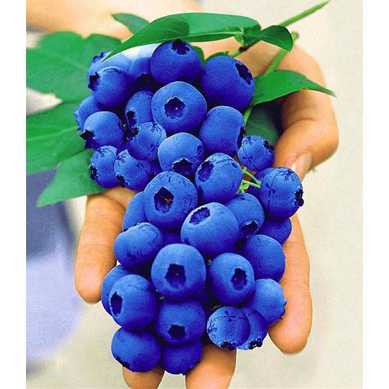 """Garten-Welt Heidelbeere """"Nui®"""", 1 Pflanze blau"""
