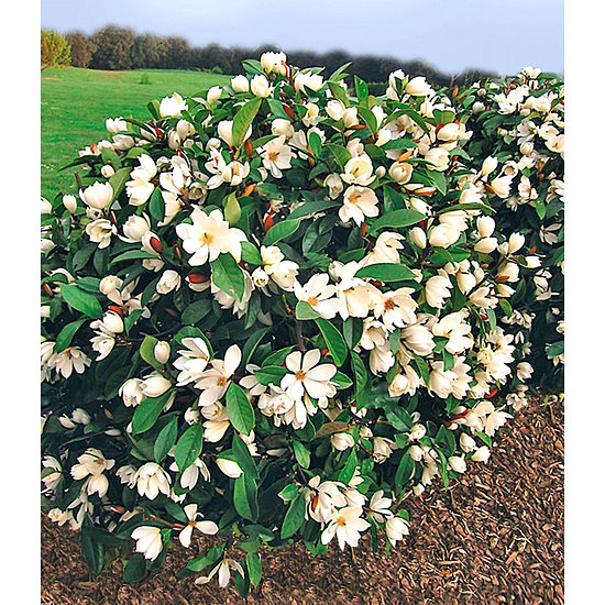 "Garten-Welt Duft-Magnolien-Hecke ""Fairy"", 1 Pflanze weiß"