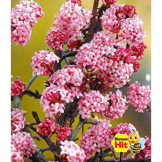 """Garten-Welt Winterblüher Duft-Schneeball """"Dawn"""", 1 Pflanze rosa"""