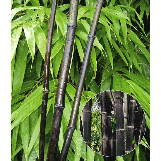 """Garten-Welt Schwarzer Bambus """"Black Pearl"""", 1 Pflanze schwarz"""