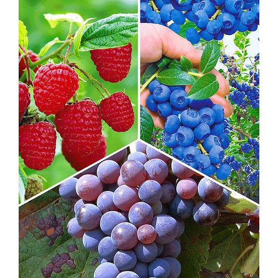 Garten-Welt Beeren-Sortiment , 3 Pflanzen mehrfarbig