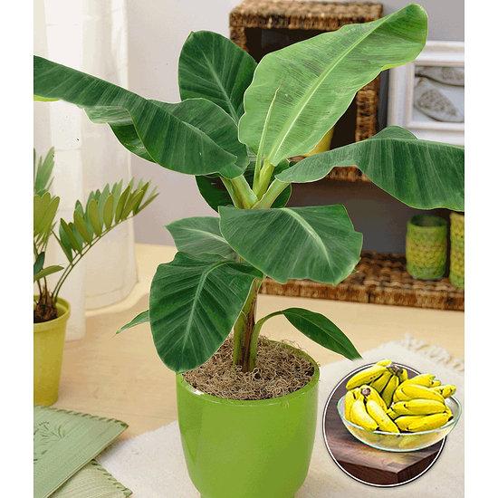 Garten-Welt Musa Banana Tropicana 1 Pflanze grün