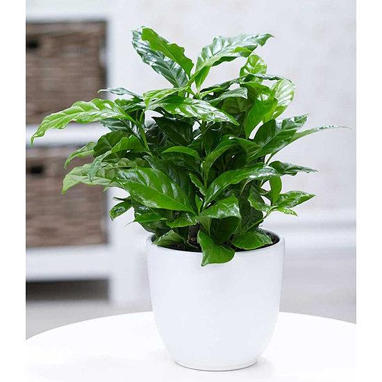 Garten-Welt Coffea arabica , 1 Pflanze grün