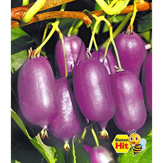 """Garten-Welt Kiwi """"Kens Red"""", 1 Pflanze lila"""