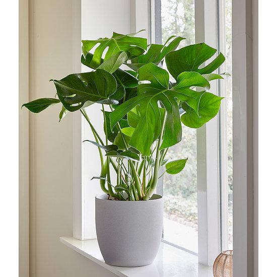 Garten-Welt Monstera 1 Pflanze grün