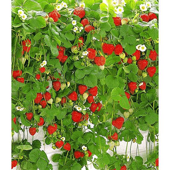 "Garten-Welt Hänge-Erdbeere ""Hummi"" 3 Pflanzen rot"