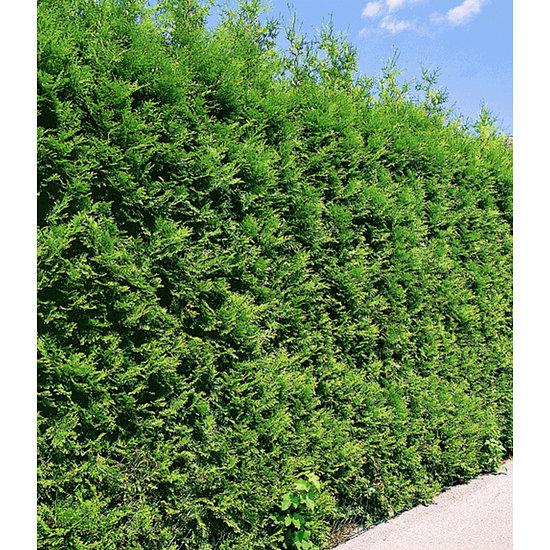 """Garten-Welt Thuja Lebensbaum """"Brabant"""" , 1 Pflanze grün"""