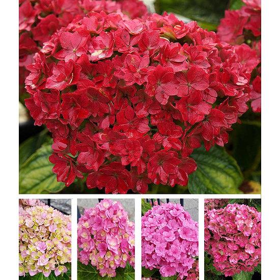 """Garten-Welt 5-Stufen Hortensie """"Together®"""" , 1 Pflanze mehrfarbig"""