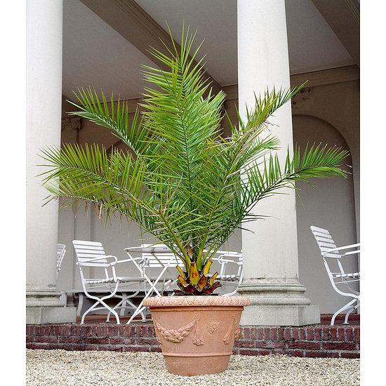 Garten-Welt Kanarische Dattelpalme , 1 Pflanze grün
