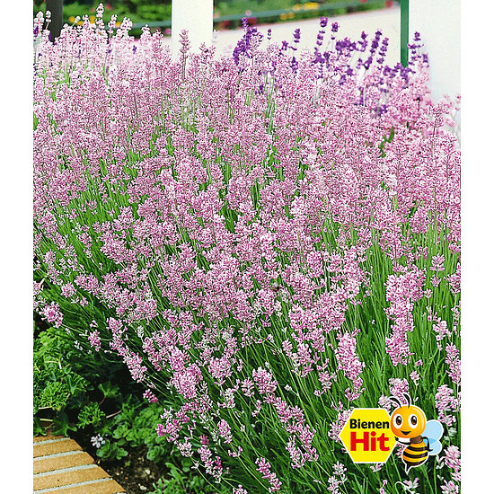 "Garten-Welt Duft-Lavendel ""Rosa"", 3 Pflanzen rosa"