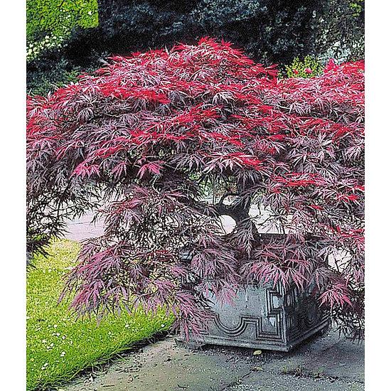 """Garten-Welt Japanischer Ahorn """"Burgund"""", 1 Pflanze rot"""