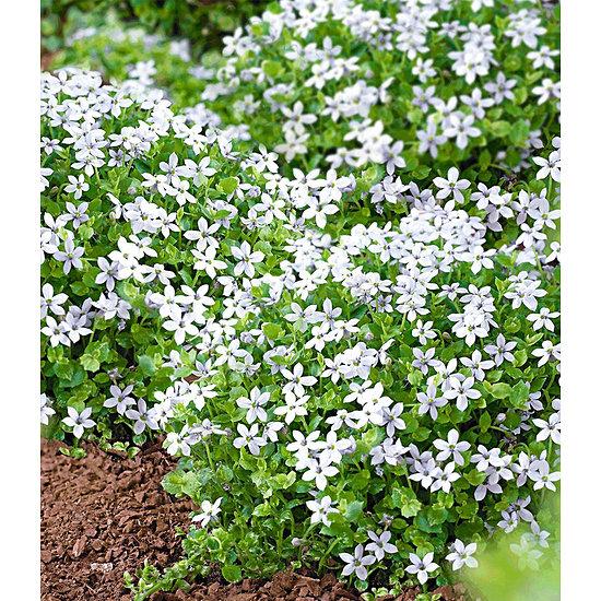 """Garten-Welt Isotoma """"White Splash"""" , 3 Pflanzen weiß"""