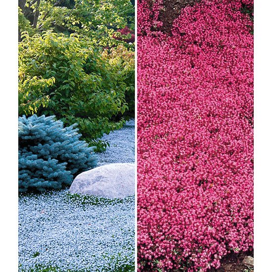 Garten-Welt Bodendecker-Kollektion rot und blau, 6 Pflanzen mehrfarbig