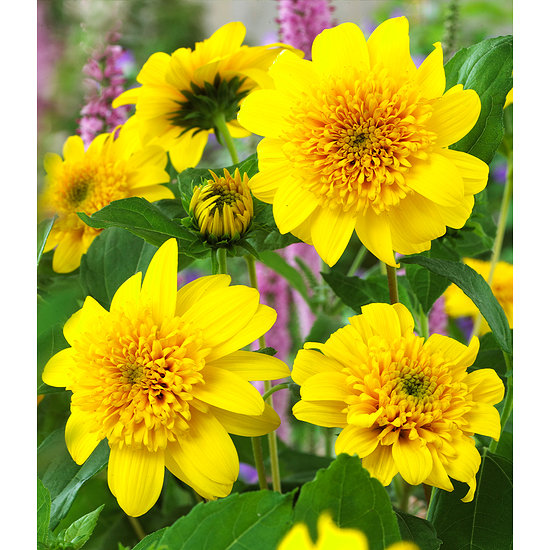 """Garten-Welt Winterharte gefüllte Sonnenblume """"Happy Days"""", 1 Pflanze gelb"""