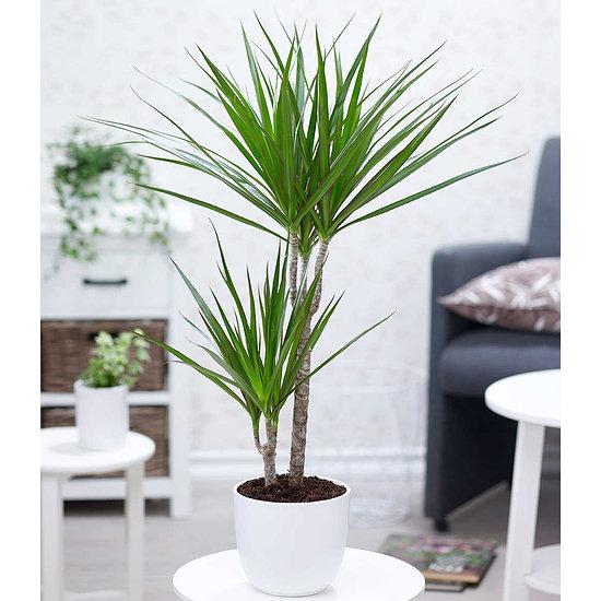 "Garten-Welt Dracena ""Marginata"" ca. 70 cm hoch, 1 Pflanze grün"