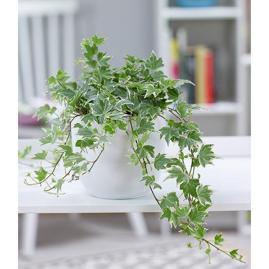 """Garten-Welt Efeu """"White Ripple"""" , 1 Pflanze mehrfarbig"""