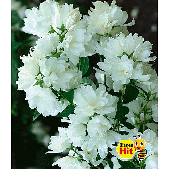 Garten-Welt Bauern-Jasmin 1 Pflanze weiß