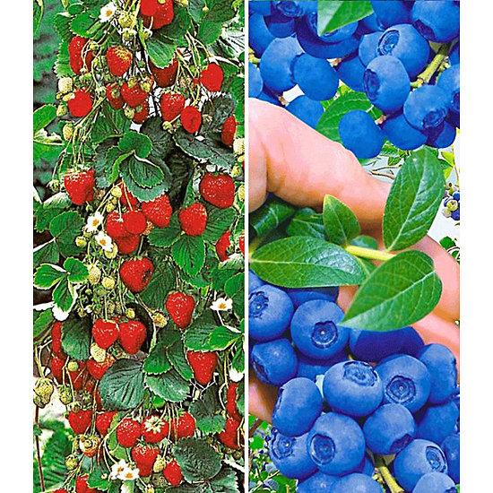 Garten-Welt Beeren-Kollektion , 4 Pflanzen mehrfarbig