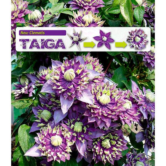 """Garten-Welt Clematis """"Taiga"""", 1 Pflanze lila"""