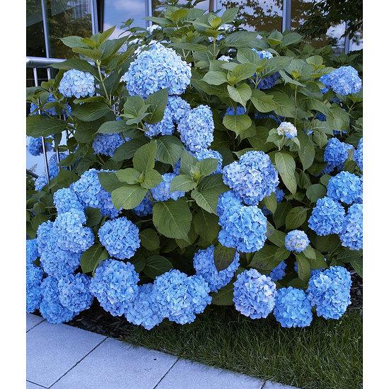 "Garten-Welt Bauern-Hortensie ""Générale Vicomtesse de Vibraye®"", 1 Pflanze blau"