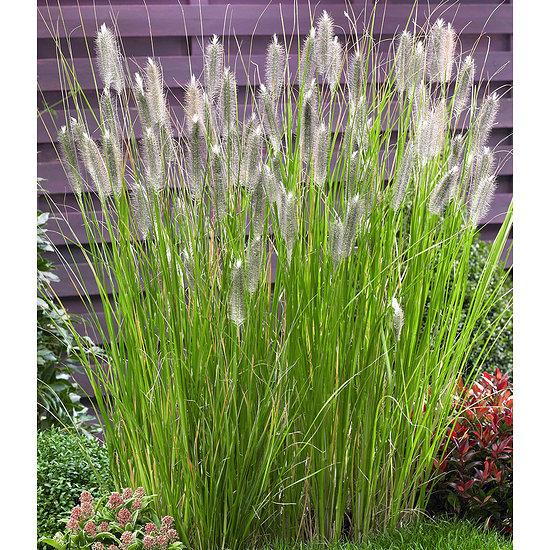 """Garten-Welt Lampenputzergras """"Magic"""" , 1 Pflanze braun"""