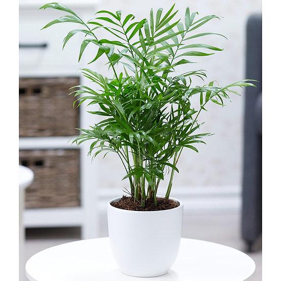 Garten-Welt Chamaedorea Palme , 1 Pflanze grün