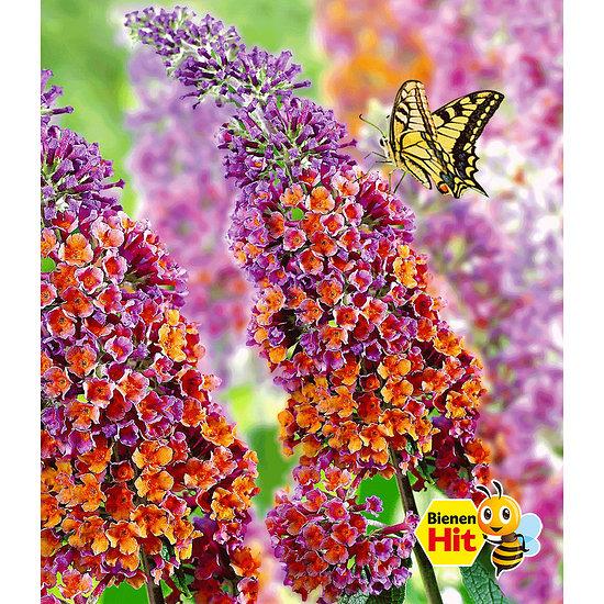 """Garten-Welt Buddleia """"Flower- Power im 2-Liter Topf"""", 1 Pflanze lila"""