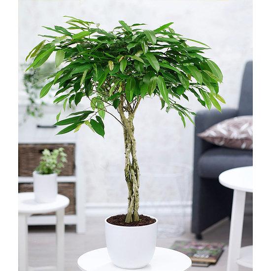 Garten-Welt Ficus Amstel King mit geflochtenem Stamm, 1 Pflanze grün