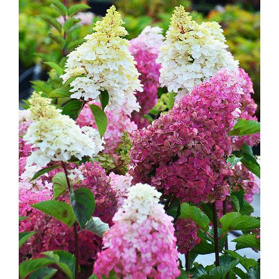 """Garten-Welt Freiland-Hortensie """"Fraise Melba®"""", 1 Pflanze mehrfarbig"""