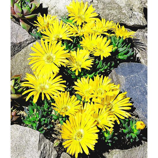 Garten-Welt Goldtaler 2 Pflanzen gelb
