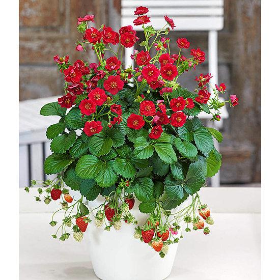 """Garten-Welt Erdbeere """"Summer Breeze Rose"""" , 3 Pflanzen rot"""