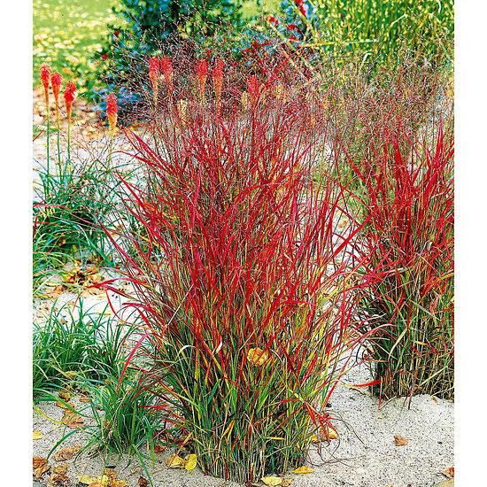 """Garten-Welt Ziergras """"Roter Strahl"""" , 1 Pflanze gelb"""