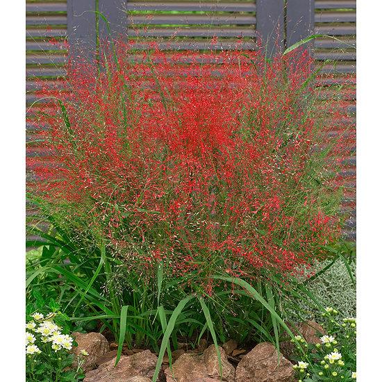 Garten-Welt Rotes Liebesgras 3 Pflanzen rot