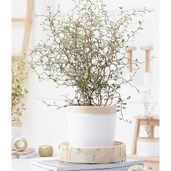 "Garten-Welt Maori® Sophora Cotoneaster ""Little Baby"", 1 Pflanze gelb"