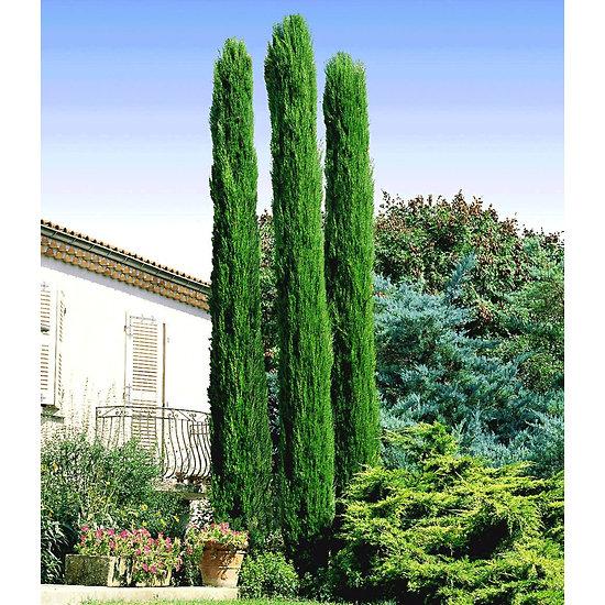 """Garten-Welt Echte Toskana """"Säulen-Zypresse"""", 1 Pflanze grün"""