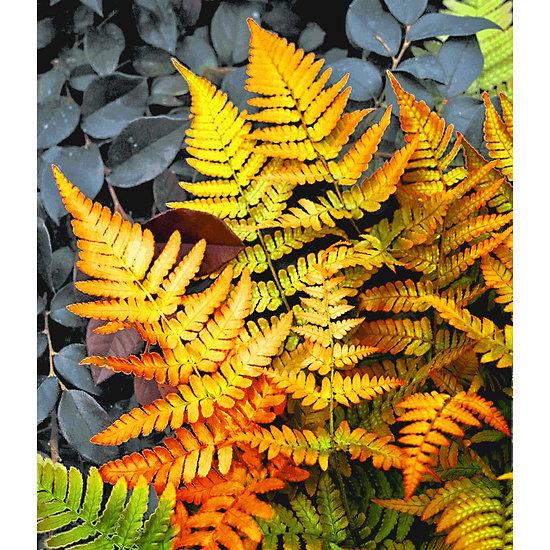 """Garten-Welt Schmuck-Farn """"Golden Brilliant"""", 1 Pflanze orange"""
