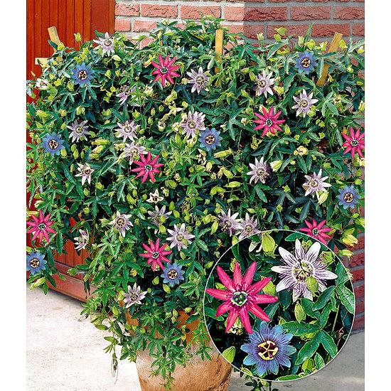 """Garten-Welt Passionsblumen-Trio """"Exotic Flowers"""", 1 Pflanze mehrfarbig"""