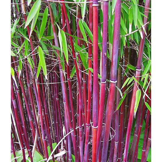 "Garten-Welt Roter Bambus ""Chinese Wonder"", 1 Pflanze rot"