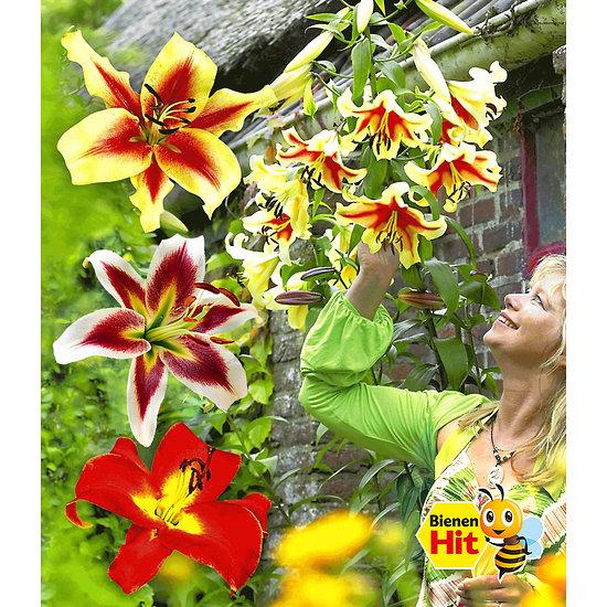 Garten-Welt Tree-Lilies®-Kollektion 6 Knollen mehrfarbig