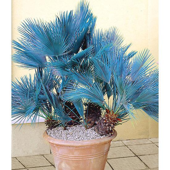 Garten-Welt Blaue Zwerg-Palme , 1 Pflanze blau