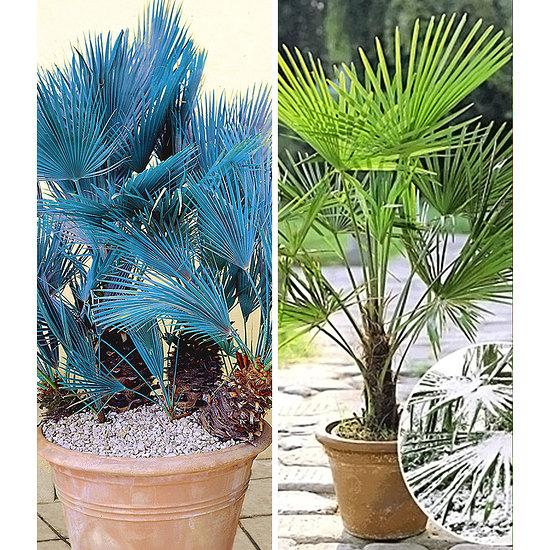 Garten-Welt Winterharte Palmen-Sortiment zum Vorteilspreis,2 Pflanzen mehrfarbig