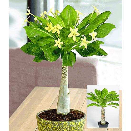 Garten-Welt Hawaii-Palme 1 Pflanze gelb