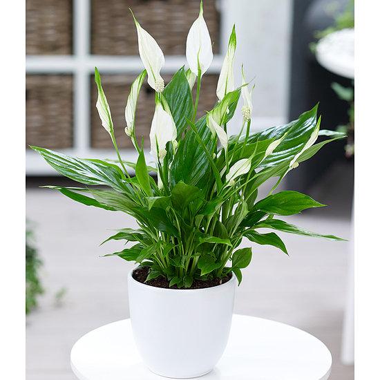 Garten-Welt Spathiphyllum 1 Pflanze weiß