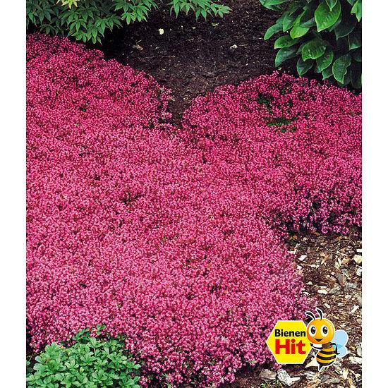 Garten-Welt Bodendecker-Thymian 3 Pflanzen pink