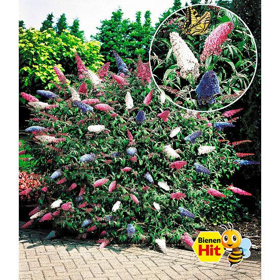 """Garten-Welt Sommer-Flieder """"Papillion Tricolor"""", 1 Pflanze mehrfarbig"""