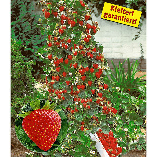 "Garten-Welt Kletter-Erdbeere ""Hummi"", 3 Pflanzen rot"