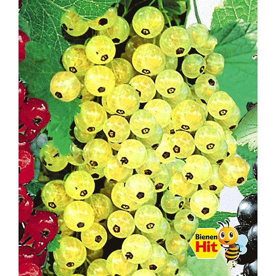 """Garten-Welt Johannisbeere """"Goldgelbe Versailler"""", 1 Pflanze gelb"""