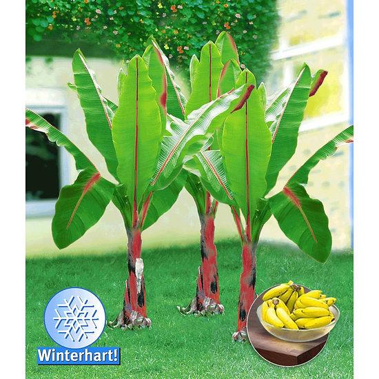 Garten-Welt Winterharte Banane 1 Pflanze rot