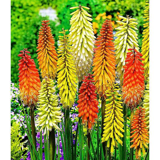 Garten-Welt Fackellilien-Mix , 4 Knollen mehrfarbig
